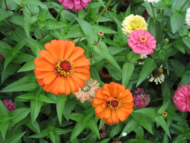 flowers in orange, yellow, and pink